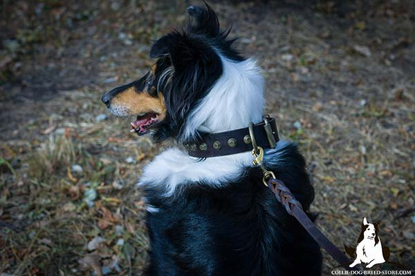 Collie brown leather collar of classy design with cones for stylish walks