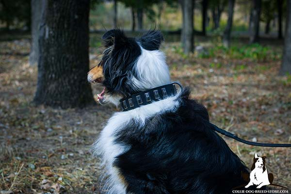 Collie black leather collar of high quality with handset plates for stylish walks