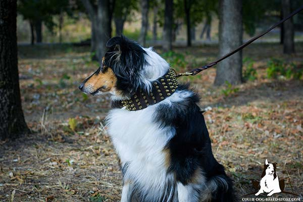 Collie brown leather collar of genuine materials adorned with spikes for daily activity