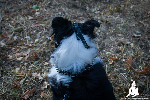 Collie black leather collar padded adorned with spikes for walking