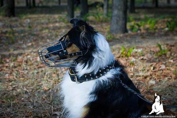 Collie leather collar padded with Nappa leather nickel plated fittings for quality control