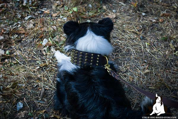 Collie brown leather collar of high quality decorated with spikes for stylish walks