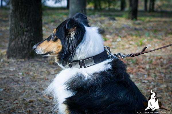 Noteworthy leather Collie collar with nickel plated cones and plates