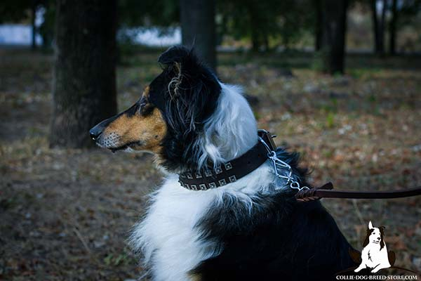 Walking leather Collie collar with riveted old nickel studs