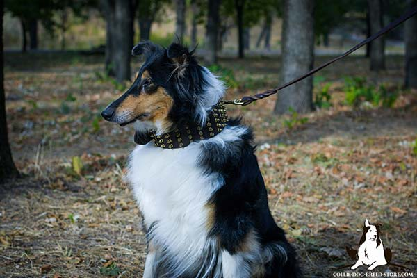 Amazing wide leather dog collar for Collie with brass plated spikes